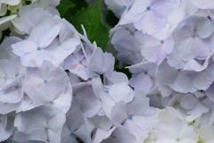野草園の紫陽花-4