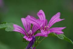 花散歩‐薄紅葵