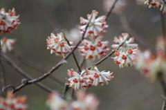 早春の忘れ物-赤花のミツマタ