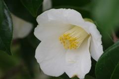 花散歩‐真っ白な椿