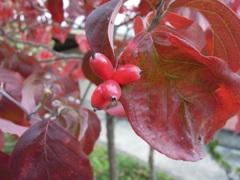 秋から冬の赤い実-花水木