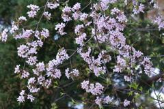 花散歩-ピンクの山桜
