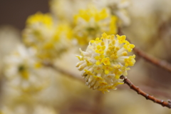 薬用植物園の春‐ミツマタ