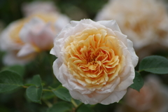 六月の薔薇-イングリツシュ・ガーデン