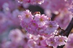 春を待つ心-八重桜・春月香