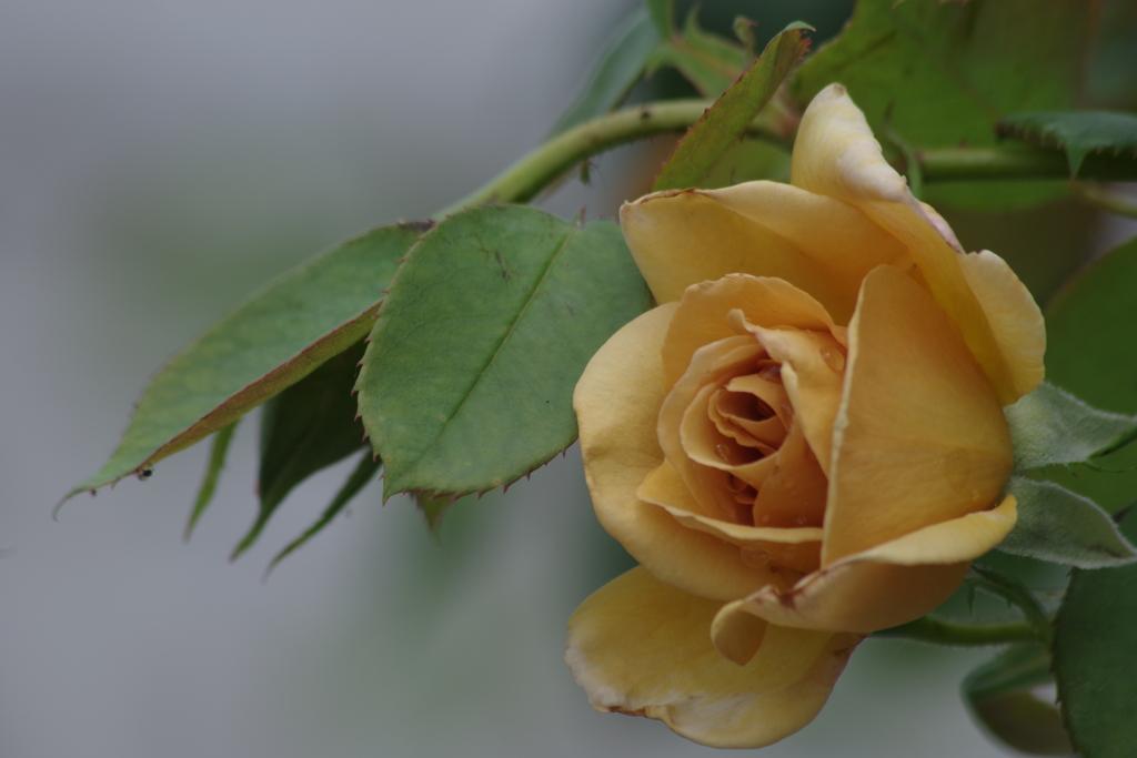 花散歩‐ブロンズカラーのバラ