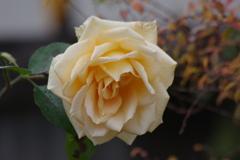 冬の薔薇-5