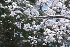 雪の朝₋雪の花