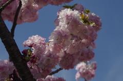 子安観音堂の桜-3