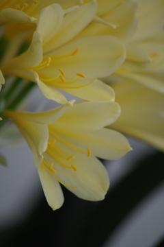 春を待つ心‐君子蘭1