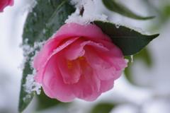春の雪-椿