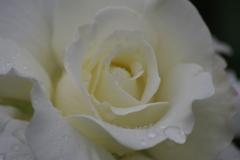 六月の薔薇-銀世界