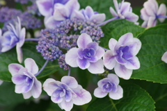 花散歩-うす紫の紫陽花