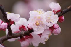 薬用植物園の春‐杏