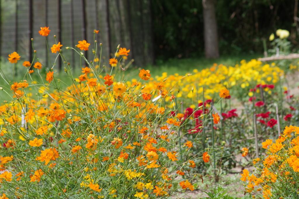ダリヤ園の花壇1