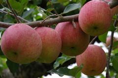 リンゴ5個