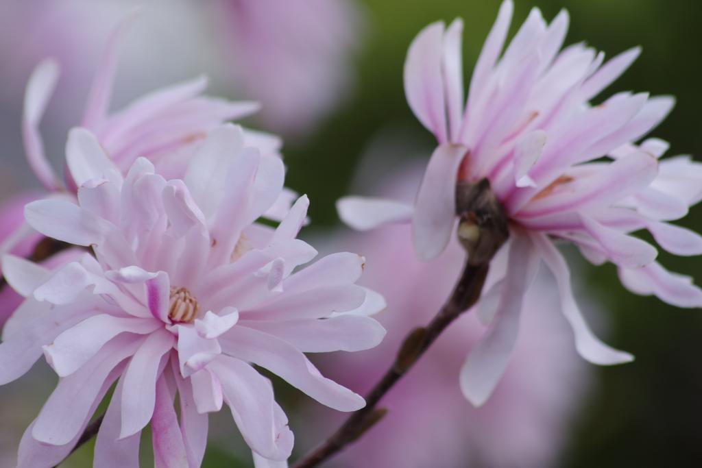 春を待つ心‐四手辛夷
