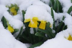 年度末の雪‐ミニ水仙