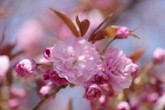 霞城の桜‐八重桜