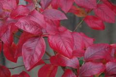 家の周りで‐ブルーベリーの紅葉2