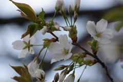 染井吉野に少し遅れて咲きました-大島桜