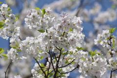 花散歩-白い桜