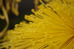 菊花スプラッシュ-1
