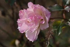 冬の薔薇-1