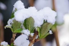 春の雪-紫陽花の若芽