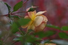 冬の薔薇-3