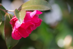 花散歩‐赤い山茶花