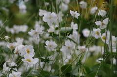秋明菊の白花
