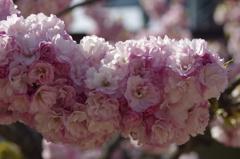 子安観音堂の桜-1