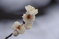 山形にも春の知らせ‐霞城公園の白梅1