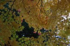 花散歩-緑と黄と少し赤いモミジ