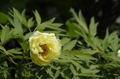 花散歩‐黄花のボタン