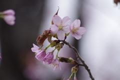 春の忘れ物‐大山桜