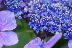 花散歩-紫陽花3