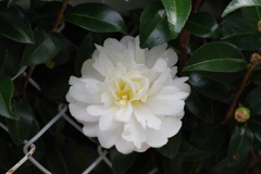 花散歩-山茶花が咲いた3
