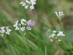 花散歩‐ニラとツバメシジミ