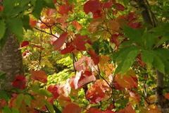 キラキラと紅葉