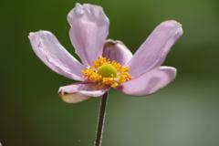 家の周りで‐ピンクの秋明菊