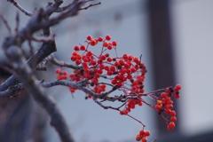 冬でも赤い実-七竈