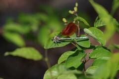 五月の風-日本川蜻蛉