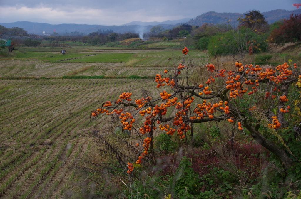 稲刈りが終わって柿の実が熟れる晩秋