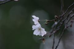 野草園の十月桜-3