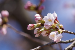 咲始めの染井吉野