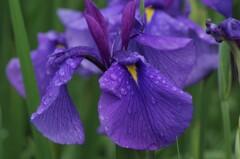 六月は花菖蒲-長井古紫