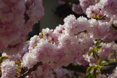 子安観音堂の桜-2