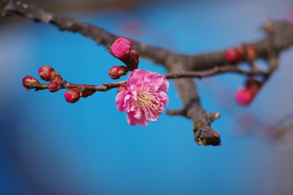 春の陽気の花散歩‐紅梅